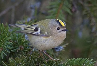 Kungsfågel, hona. Foto: Björn Danielsson